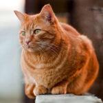 Dấu hiệu mèo bị viêm tử cung? Cách chữa viêm tử cung ở Mèo hiệu quả!