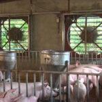 Các biện pháp chống nóng cho vật nuôi hiệu quả – Pharmavet Group